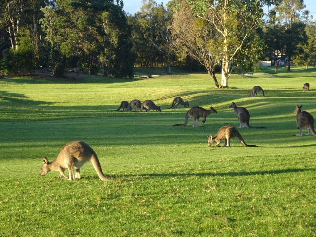 Meeting the kangaroos of Jervis Bay